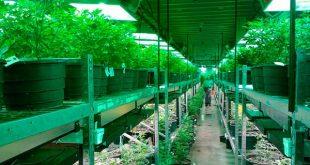 Guerra por la Marihuana